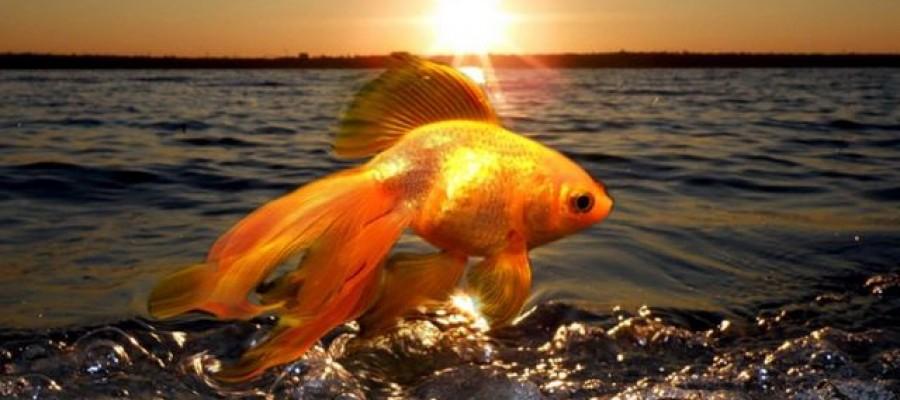 Поймайте свою Золотую Рыбку!
